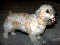 Terrier Glen of Imaal
